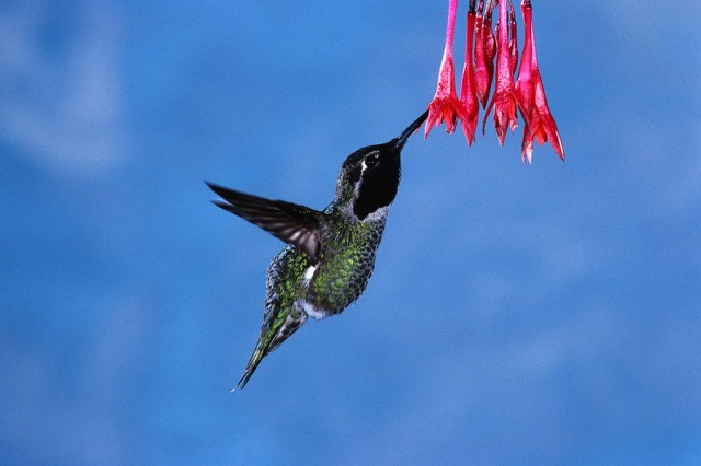 Hummingbird in Flight Feeding on Flower