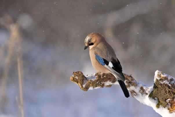 jay-bird-konar-winter-45212